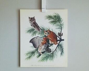 Little Screech Owl Audubon Print (1964)