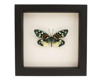 Real Moth Display Erasmia Pulchera