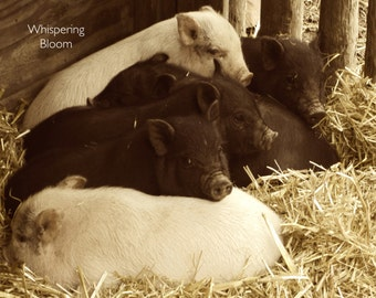 "8x10 Sepia Photo Art - Baby Pigs in Barn - ""Piglet Pile"""