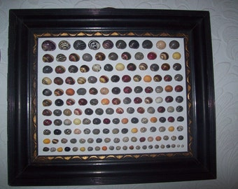 Collection of Mainly Freshwater Nerite Shells Framed from an Old Collection