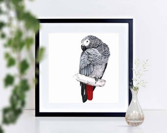 African Grey Parrot Preening - limited edition signed print, framed or mounted