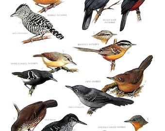 Vintage Bird Print - Barred Antshrike, White Flanked Antwren, Gray Antbird, Bluish Slate Antshrike - 1990 Vintage Book Page - 11 x 9