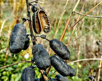 Milkweed Pods Photo, Flowering Plant, Asclepias Syrice, Silkweed, Cottonweed, Perennial Pod Picture, Butterfly Nectar, Milkweed Seed Pods