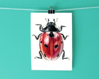 Ladybug Art Print / Seven-Spotted Lady Beetle Print / Hand-drawn colored pencil scientific illustration / Bug art