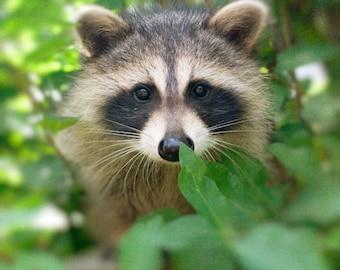 Animal photography baby animal nursery decor art for child's room raccoon brown fur masked bandit nature photo - Rocky 5x5