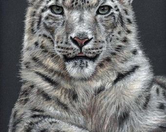 Snow Leopard - Fine Art Print