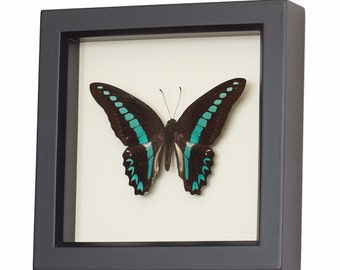 Real Framed Butterfly Display Blue Triangle