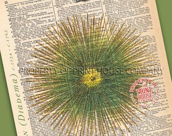 """Sea Urchin, Dictionary Print, Vintage Natural History Illustration, Printed on an 8""""x11"""" Antique Dictionary Page."""