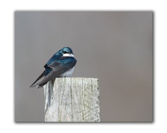 Bird photography, fine art nature photos, songbird, tree swallow, cottage chic home decor, wildlife print, bird on post, blue, feathers, eye