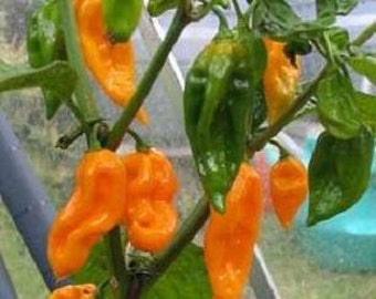 Hot Pepper Plant, Fatali Organic Super Hot