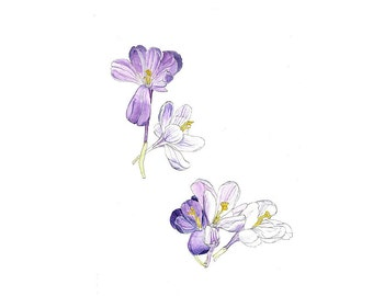 Purple Crocus, Watercolor Botanical Illustration, Art Print
