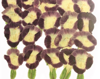 Pressed flowers, purple Torenia 20pcs for art craft card making