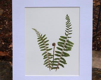 Real Pressed Fern Western Sword Fern Fiddlehead Pressed Botanicals Herbarium 11x14