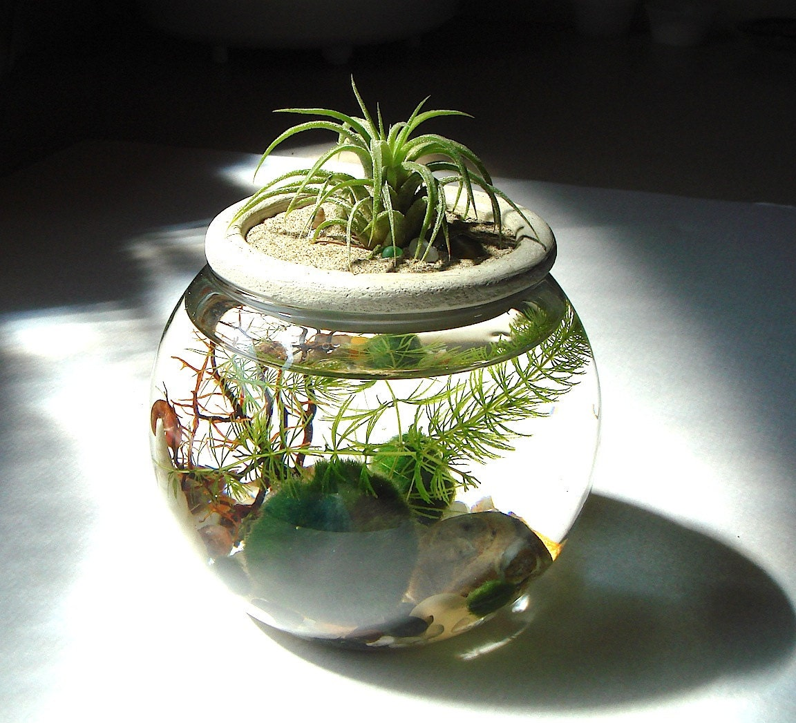 Marimo Terrarium Reclaimed Light Bulb with Living Moss Ball