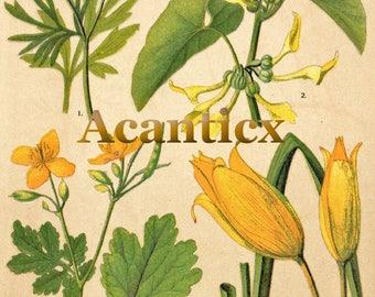 AC10020 Antique original lithography 1918 garden flowers herbs flora botany birthwort tetterwort wild tulip chromolithography