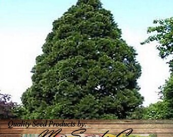 40 x Giant Sequoia Seed - Sequoiadendron giganteum - Tree Seeds - Christmas Tree Evergreen - FAST GROWING BONSAI - Lives 2,000 - 3,000 Years