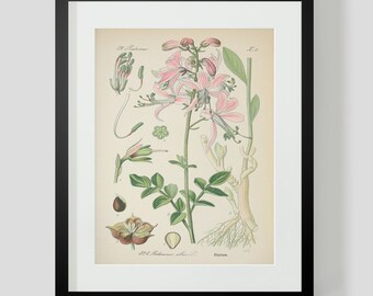 Botanical Print Plate 323
