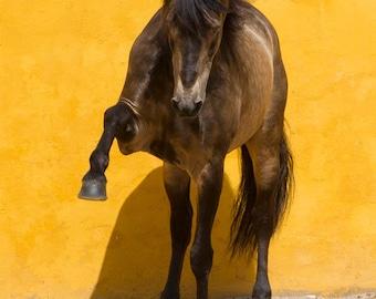 Lusitano Stallion Reaches Out - Fine Art Horse Photograph - Horse - Lusitano - Fine Art Print