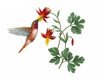 Rufous Hummingbird and Western Columbine