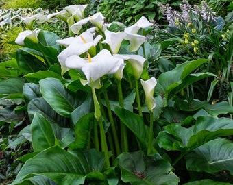Calla Lily Aethiopica - 3 XL Multi-Eye Bulbs