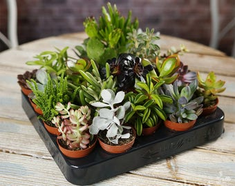 Succulent Mix - Plants - House / Office Live Indoor Pot Plant - Ideal Wedding Favour Party Gifts