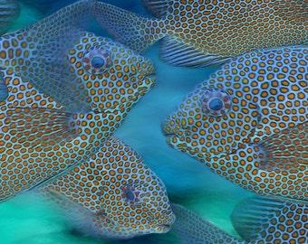 Tropical Fish, Gold Spotted Rabbitfish, Blue Fish, Beach Art, Ocean, Beach Decor, Bath Art, Fine Art  Prints, Wall Art,  Available on Canvas
