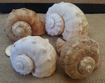 Whelk Conch Shells Rapa Rapana Rapiformis Hermit Crab Shell Large Pear Opening Lightweight Tan Brown White Murex Rock Seashells Spiral Top