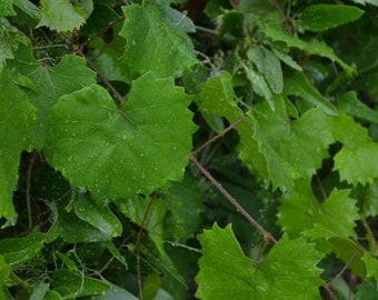 Grape Leaves Wild Picked Foraged Crafting Fresh