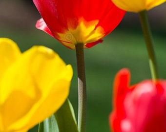 Tulip Print, Red and Yellow Flowers, Tulip Art, Botanical Art Print, Spring Flowers, Tulip Photograph, Floral Art, Garden Art, Portrait