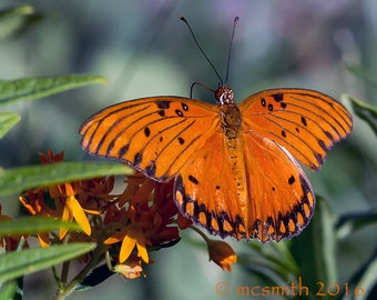 Gulf Fritillary on Butterfly Weed
