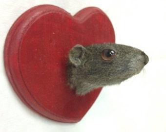 Taxidermy trophy squirrel/guinea pig