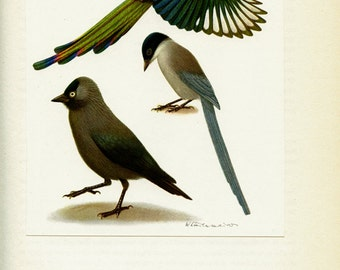 1961 Vintage magpie print VIntage bird posterAntique bird print Jackdaw poster Magpie poster Bird art Bird gift Vintage bird decor