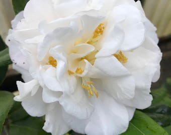 Camellia japonica 'Snowman' (Trade Gallon)