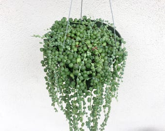 "Hanging String of Pearls Basket 6"" Pot Succulent Senecio Rowleyanus String of Beads Plant Hanging Vine Plant Succulent Basket"