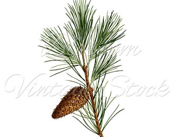 Pine Branch, Pine Cone Botanical Print Image, Botanical Illustration, Clipart, PNG - Digital Antique Illustration  INSTANT DOWNLOAD - 1567