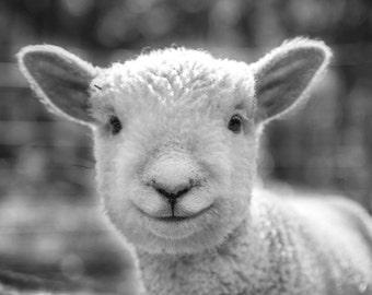 Lamb photo, black and white, sheep, farm photo, animal photo, nature photography, nursery art - 8x10 fine art photograph