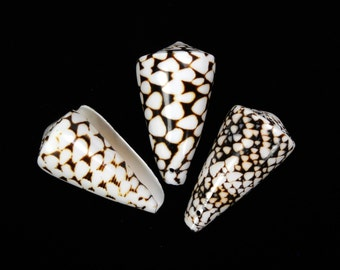 "2""-3"" DRILLED Marble Cone Shell bead seashell ocean beach nautical Hawaii coastal decor shells"