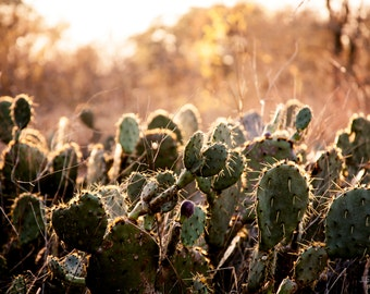 Texas Winter Cactus: WALL ART Fine Art Photography Southwestern Desert Landscape Sunset Natural Light Outdoors Rustic Decor
