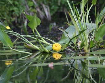 Resting Water Lily