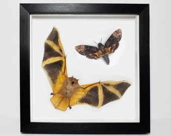 REAL Framed Death Head Moth and Painted Bat UK - Taxidermy, Fire Bat, Insect Bat, Orange, Silence of the Lambs