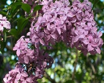 100 Early Lilac Tree Seeds, Syringa Oblata