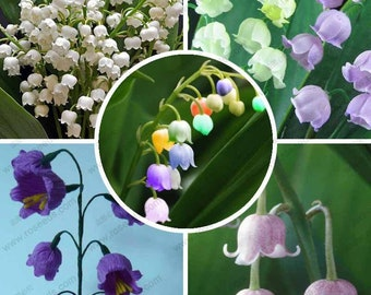 Lily of the Valley flower seeds, bell orchid seeds, rich aroma, bonsai flower seed, multi-colored orchids-40 seeds