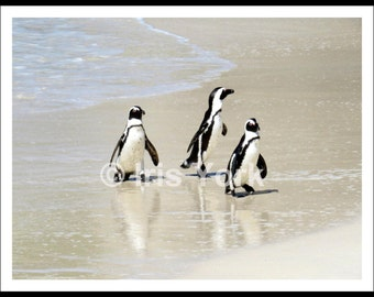 Penguins at Boulders Beach, Three Penguins Walking in the Ocean, Gifts for Children, South Africa, Wildlife, Animal Photography, Nature