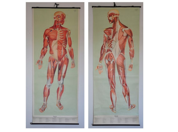 PAIR: Life Size Authentic XL Mid Century Human Anatomy