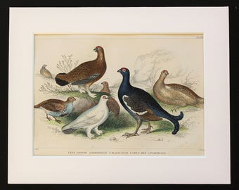 Antique Bird Print, Game Birds, Red & Black Grouse, Ptarmigan, Partridge - Mounted-Matted Goldsmith, 1840s Victorian Hand Coloured Engraving