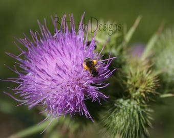 Bee Landing on Thistle, Digital Download, Nature Print, Botanical Photography, Floral Print, Wall Art, Home Decor, Bug Photo