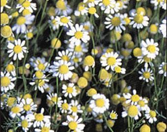 Chamomile - German Herb - Heirloom - 50 Seeds