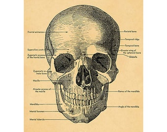 Anterior View of the Skull Wrapping Paper by Cavallini to Frame or Wrap, Book Binding, Decoupage, Collage, Scrapbook and Paper Arts PSS 3502