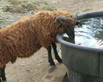 raw unwashed rare ancient breed os wool sheep- Navajo-churro