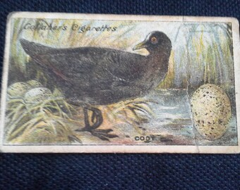 Gallaher Cigarettes Picture Card Birds Nests And Eggs Series No72 Coot